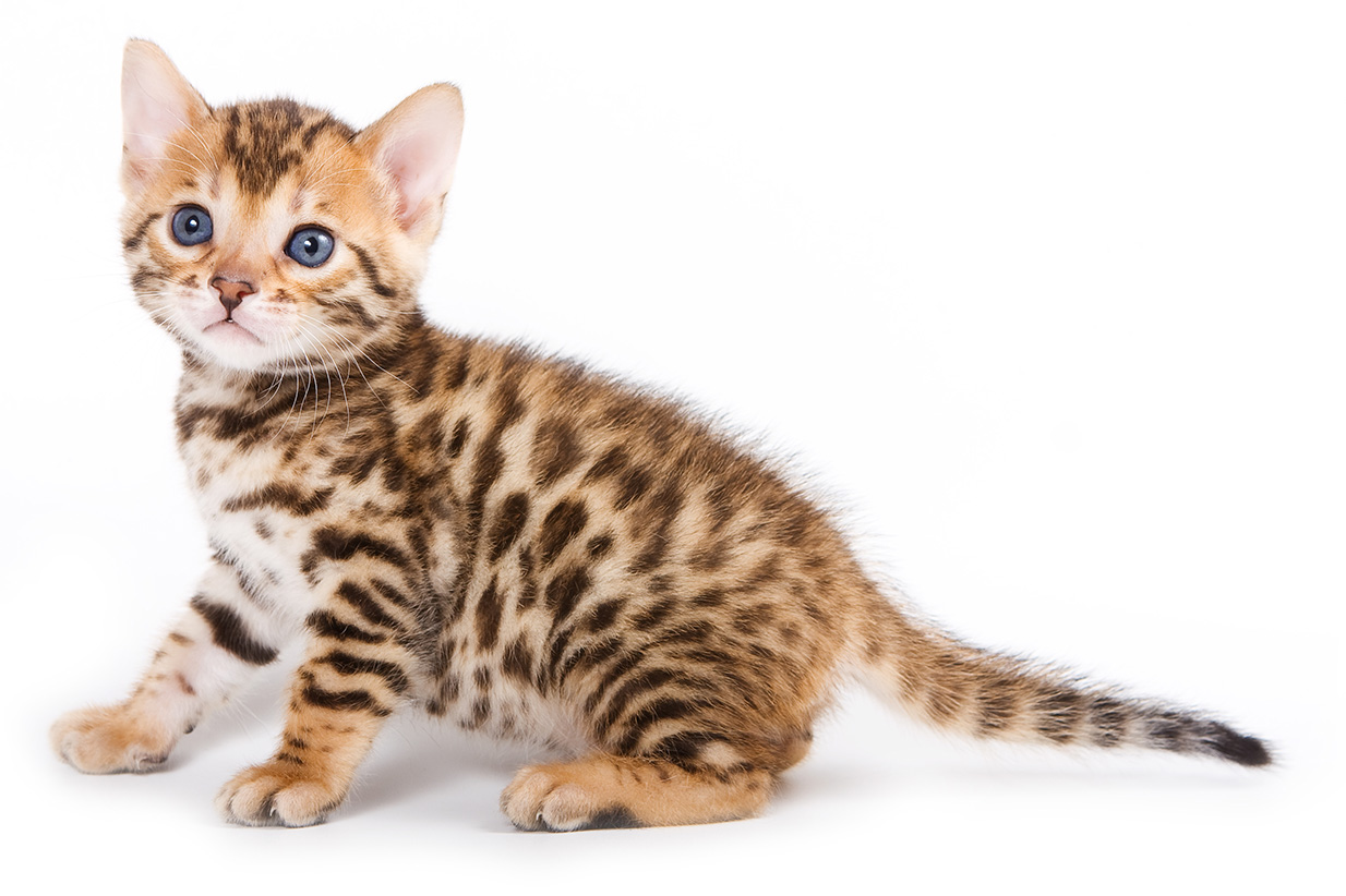 Bengal Kitten at 6 Weeks