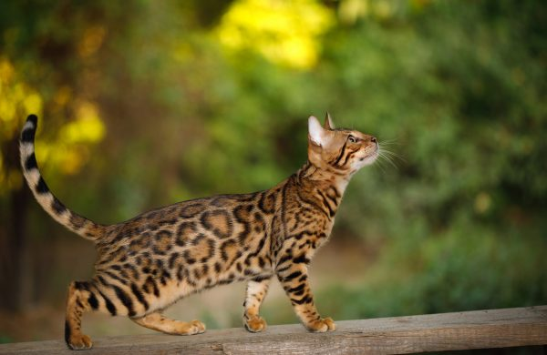 Rosetted Adolescent Bengal Cat