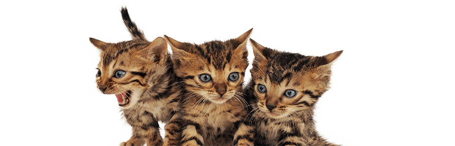Bengals By Aluren - Cats by Aluren Affordable Bengal Kittens