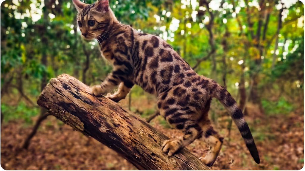 Even as kittens, Bengal cats have pronounced rosettes