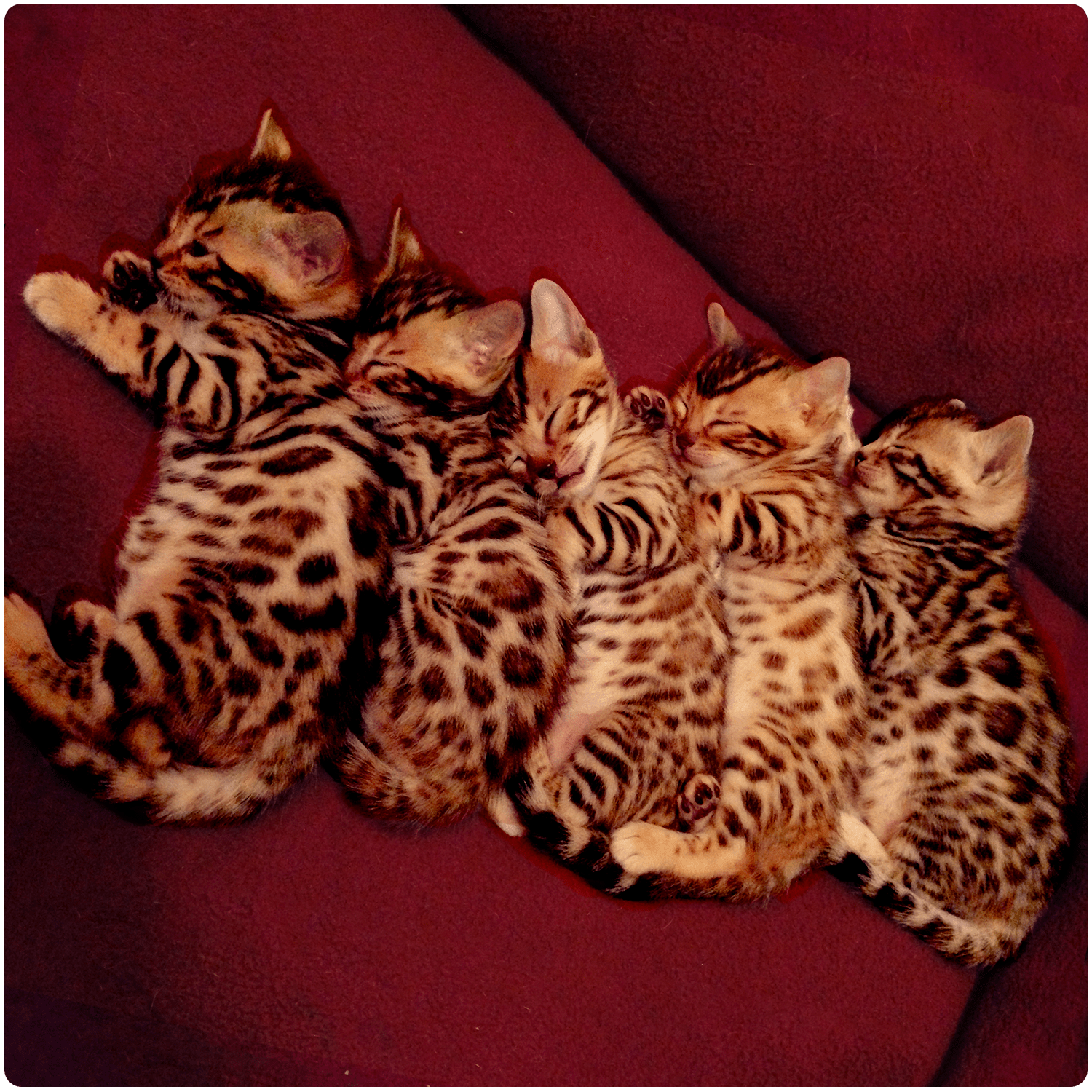 Five Bengal Kittens Sleeping
