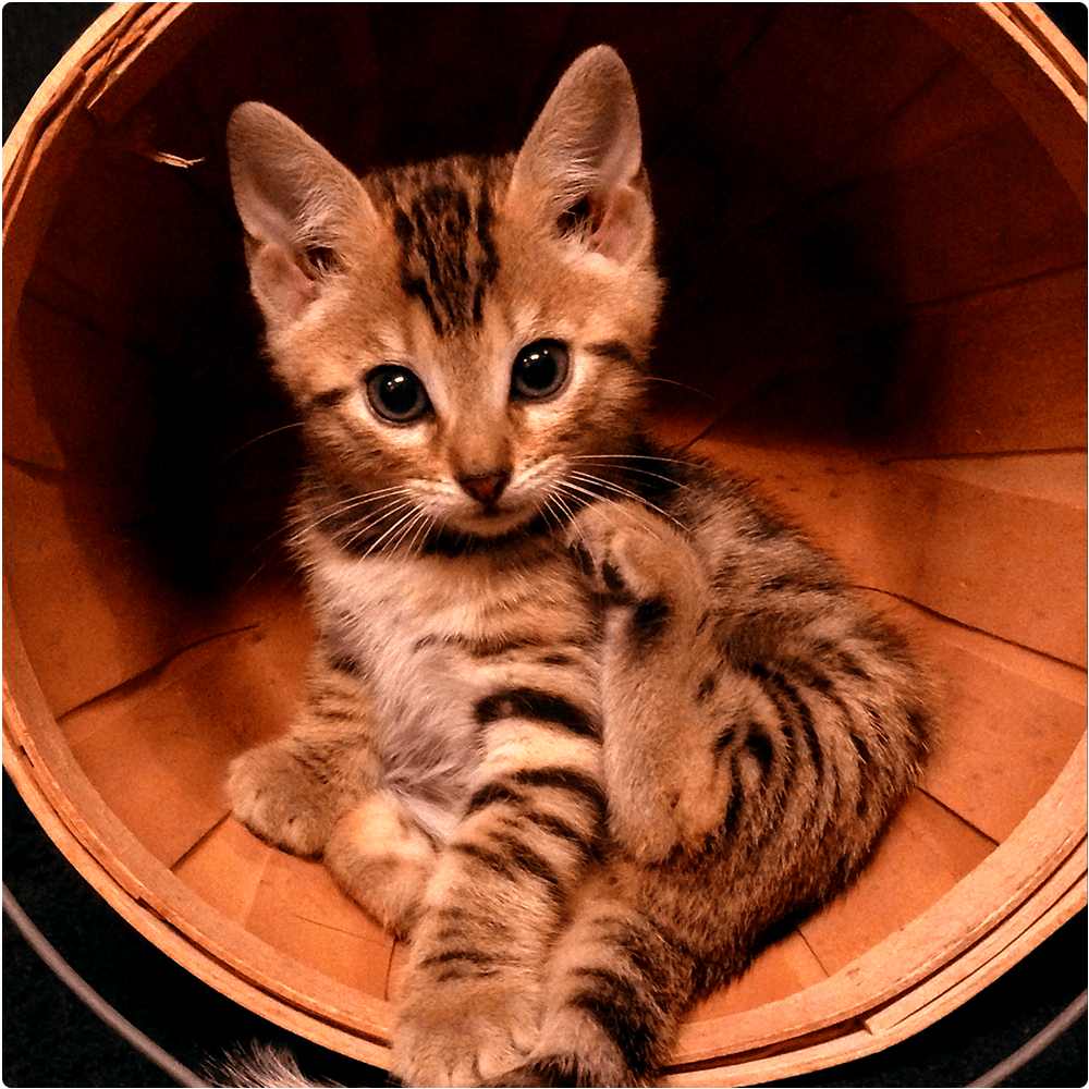 Bengal kitten in a bucket