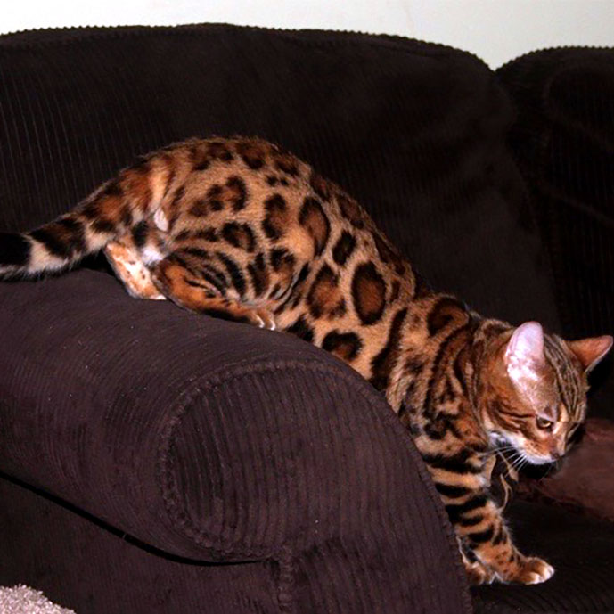 Rosetted Male SBT Bengal Cat