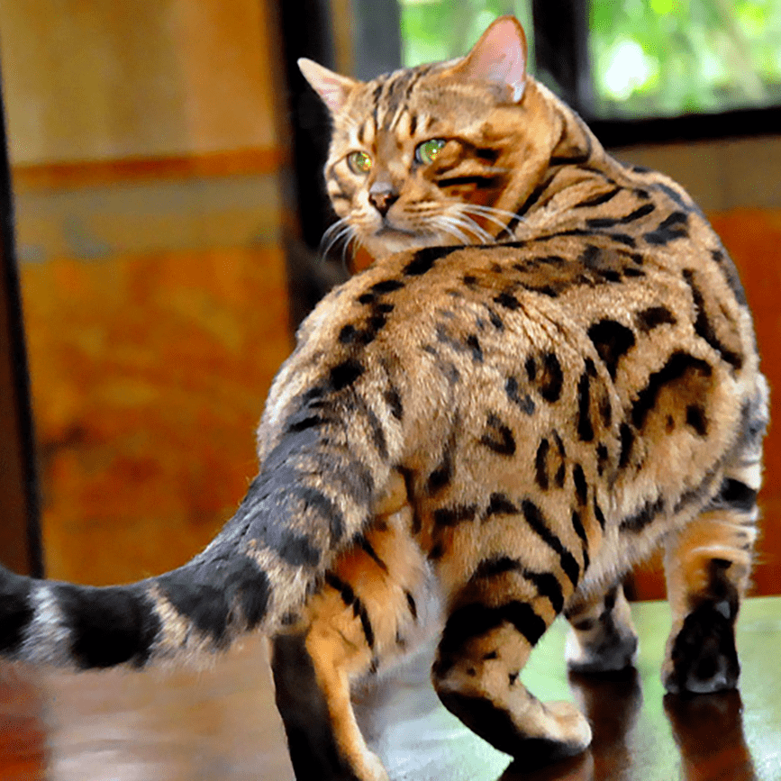 Adult Male SBT Bengal Cat