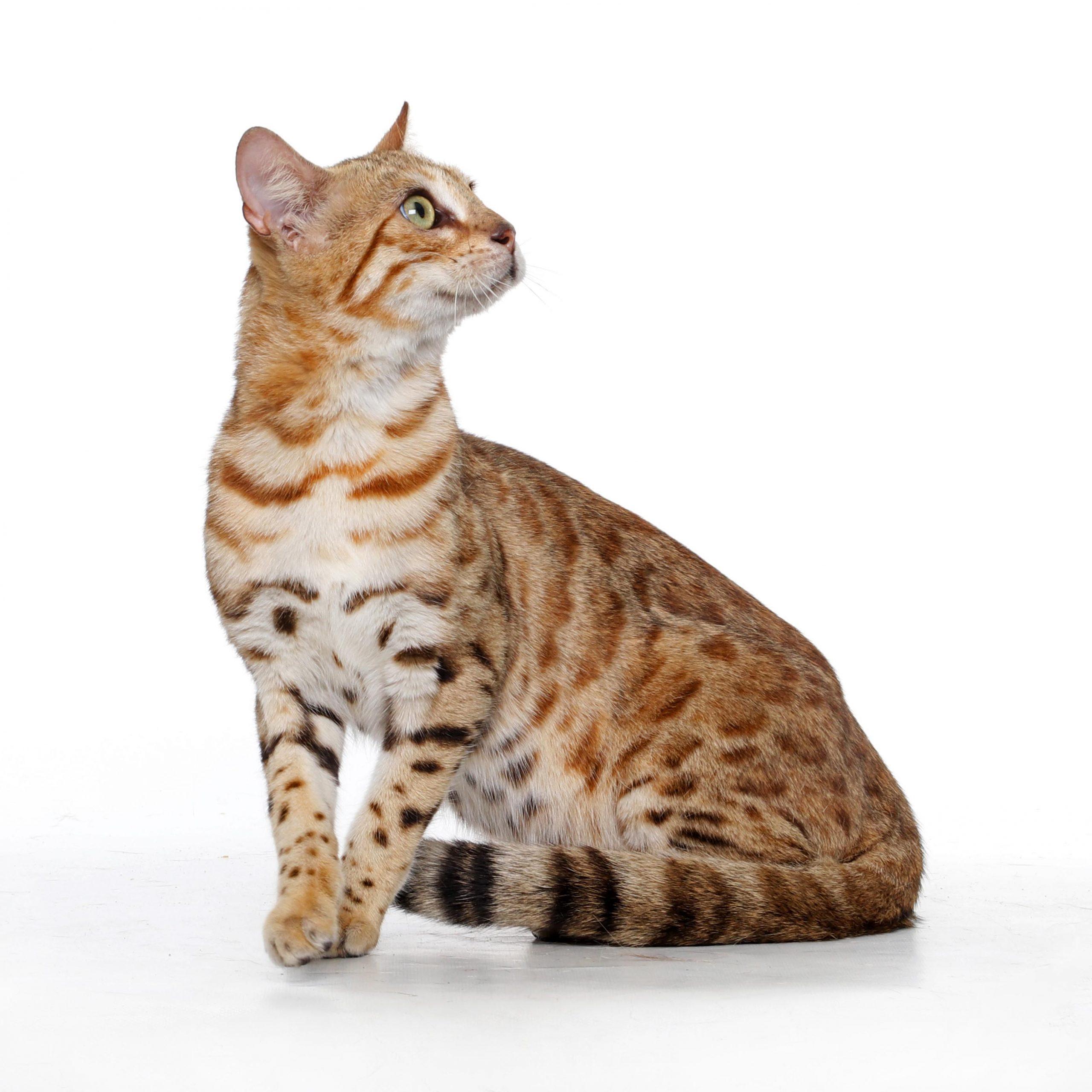 Cheetali Jontoo