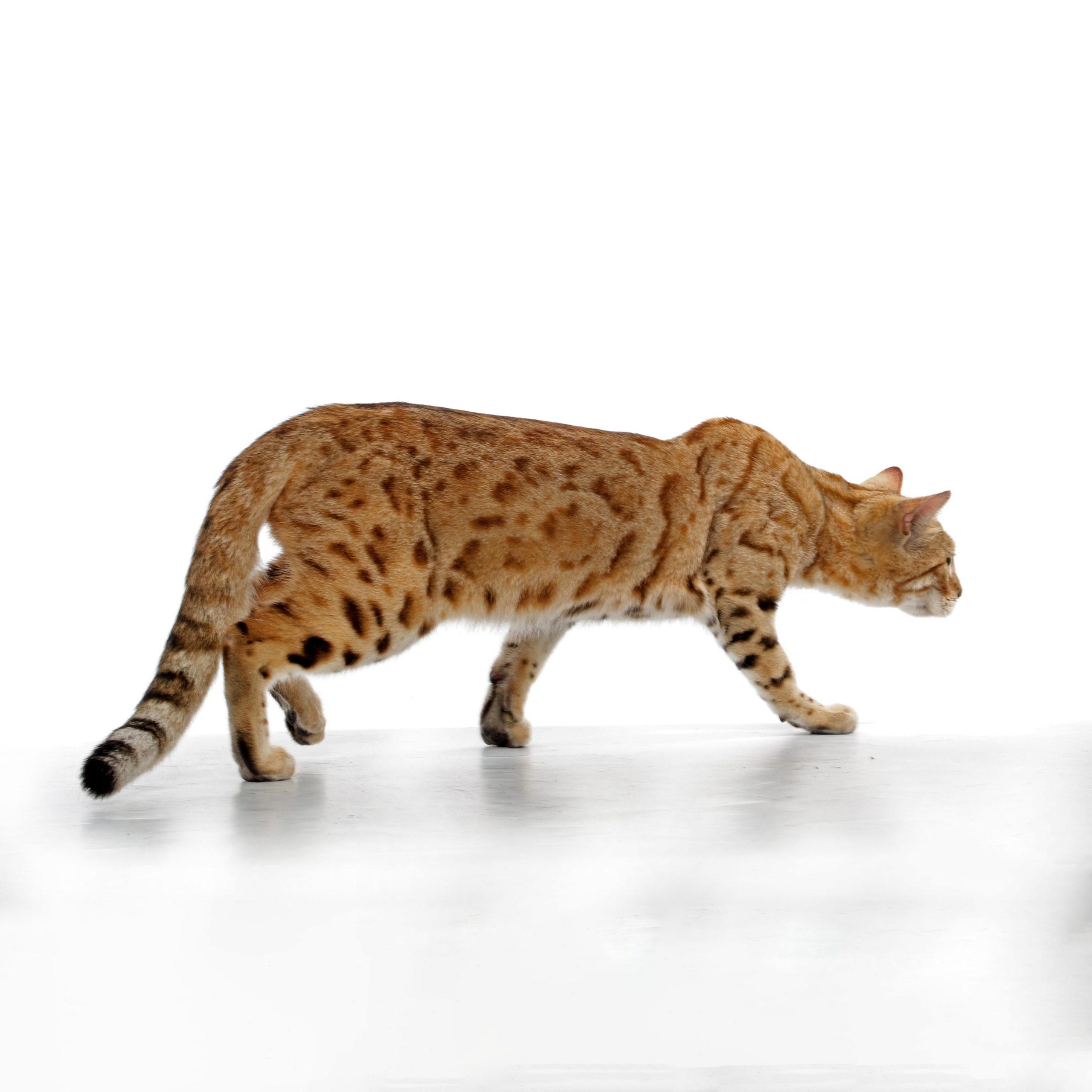 Aluren Bengal Cat breeders: Cheetali Joontoo