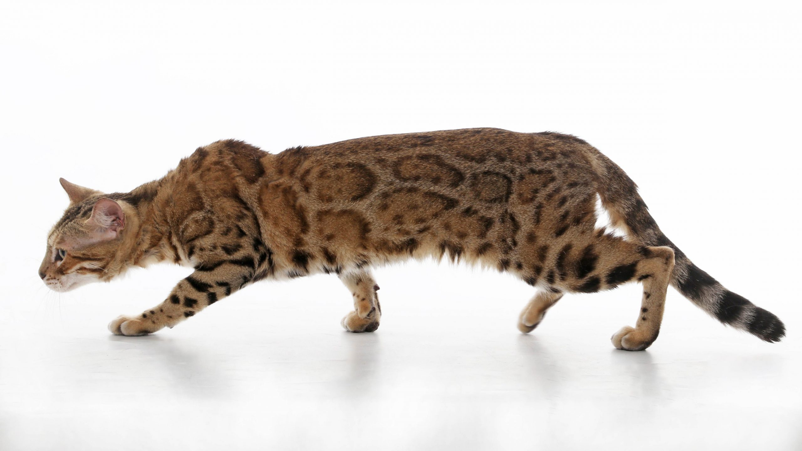 bengal-cat-profile-view-stalking