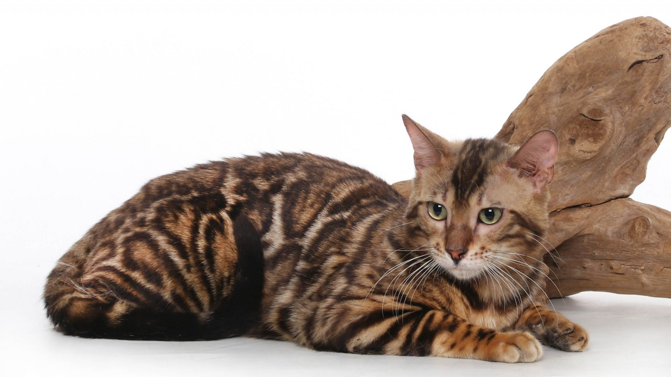bengal-cat-resting-white-background-and-wooden-log