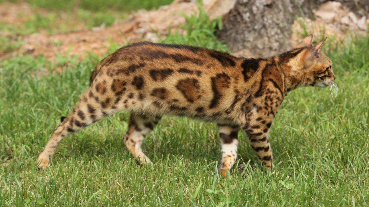 bengal-playing-outside-on-grass-stalking-prey