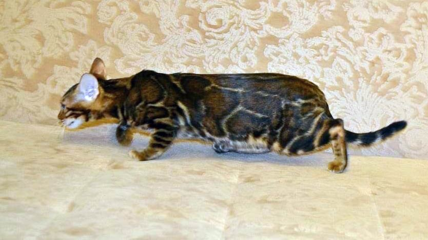 marble-bengal-at-home-stalking-across-couch