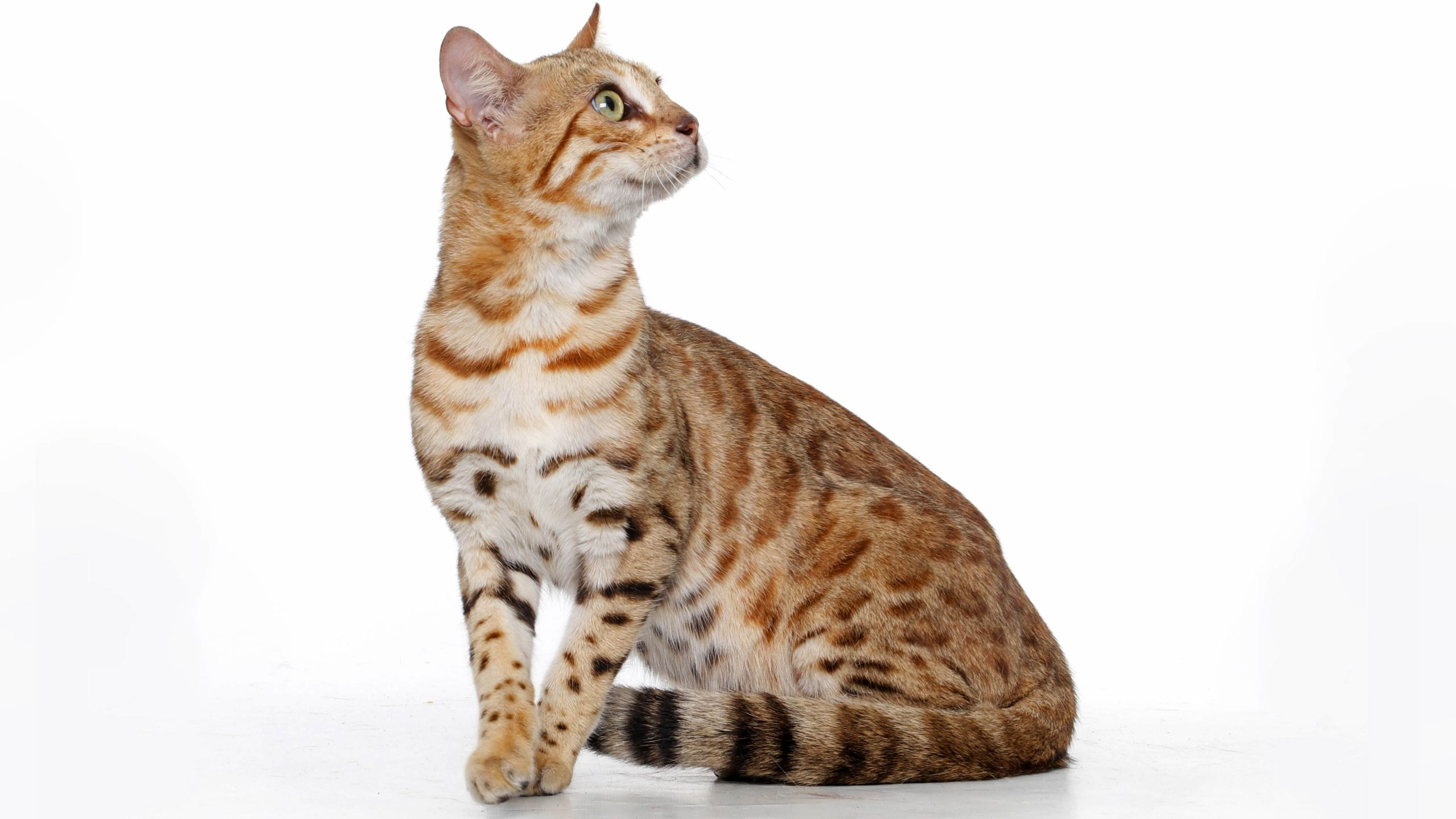 spotted-female-bengal-against-white-background-looking-up-with-profile-view