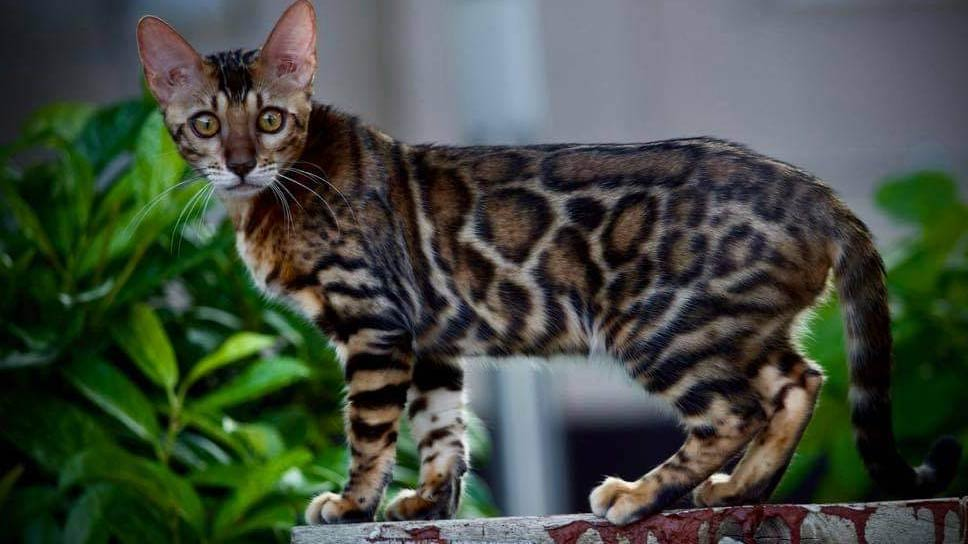 stunning-spotted-bengal-cat